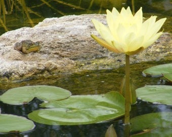 Photography-A Photograph of a Frog and a a Yellow Lily Pad-Matted and Ready to Frame-Original Photography