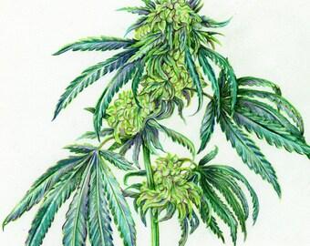 Cannabis Scientific Illustration - Green Dragon Sketch - Aiyana Udesen