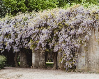 "France Travel Photography, ""Violet Wisteria"", Gallery Wall Art Prints, Home Decor"
