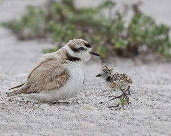 Snowy Plover Male with 9 Day Old Chick
