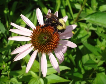 Bumblebee on Echinacea Photo Card