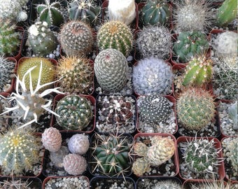 """2"""" Cactus COLLECTION assorted (36 pieces)"""