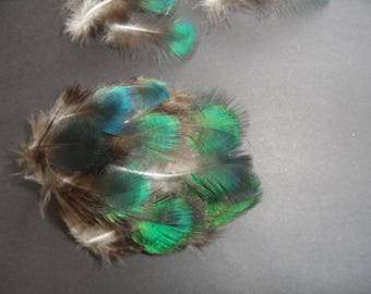 "feathers 3, the Peacock ""jade or java"" iridecentes."