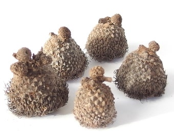 12 Unfinished Large Fringed Fancy Bur Oak Acorn Caps, Medium