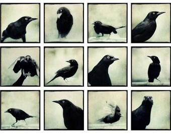 Grackles Mini Portfolio, Bird Photo Collection, Ravens, Crows, Black Birds, Gothic Art, 5x5 Print Set, Fine Art Photography Set