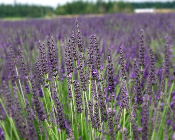 foto de Grosso Lavender/ Lavandin Lavandula X Intermedia/ Fat