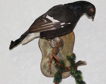 Eurasian Black Grouse - Taxidermy Bird Mount, Stuffed Bird For Sale - ST3645