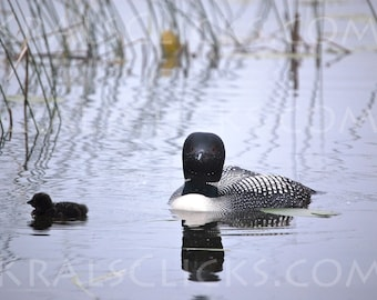 Lake Loon Photography Photograph Loons Wildlife Photgraphy Birds Nature Lake Home Office Decor Cabin Decor Common Loon with Chick Wall Art