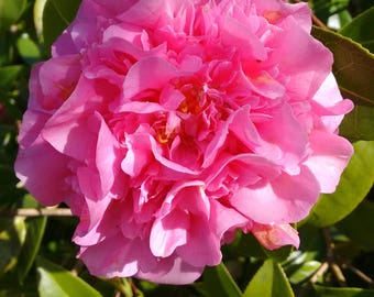 Camellia Flower Photo Art - Flower Photography *SUPPLIED WITHOUT FRAME*
