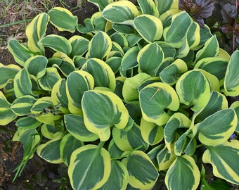 """Hosta """"MIGHTLY MOUSE"""" starter plant"""