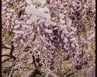 Wisteria Art Decor, Purple Art Wisteria Photo, Botanical Photo Art, Purple Wisteria Wall Art, Vintage Wisteria Fine Art Photograph 8x8 Print