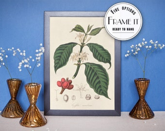 "Vintage illustration of Coffee - framed fine art print, botanical art, 8""x10"" ; 11""x14"", FREE SHIPPING - 72"