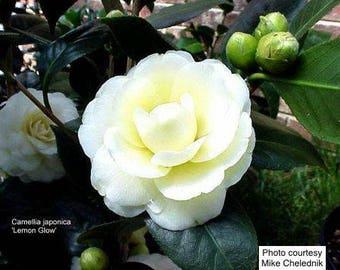 Camellia japonica 'Lemon Glow' (Quart Pot)