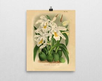 Botanical Print Orchid Coelogyne cristata Reproduction Antique  Print 1894 Botanical Illustration Gift for Gardener