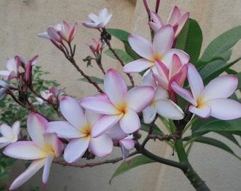 5 Frangipani Plumeria Seeds white rose pink