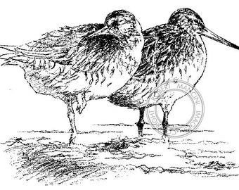 Bar-tailed Godwit pencil drawing - bird art, wildlife art - nature print of original artwork