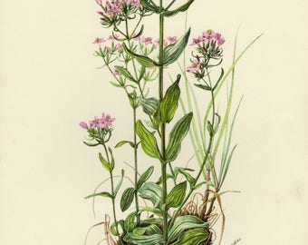 Vintage lithograph of the common centaury or European centaury from 1955