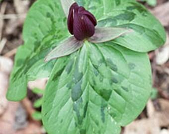 40 Toadshade Trillium Bulbs(Sessile Trillium)