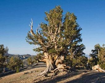 Bristlecone Pine Tree Seeds, Pinus aristata - 25 Seeds