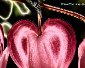 Fine Art Photograph, Romantic Decor, Valentines Card, Bleeding Heart, Flower Photography, Digitally Enhanced Photography, Pink and Black