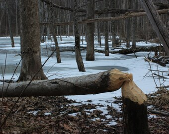 Downed Tree by Beaver Canvas Picture