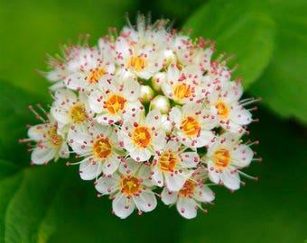 25 Physocarpus opulifolius Seeds, Diablo Seeds, ninebark Seeds