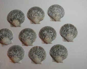Genuine Scallop Shells - From Crystal River, FLorida - Freshly Caught by me - Shells - Seashells - Grey Seashells - 10 Natural Shells  #110