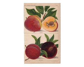 c. 1887 PLUMS print -  original antique fruit print - nectarine print - stone fruit print - satsuma & kelsey fruits