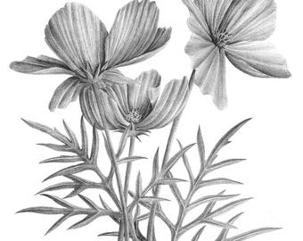 ORIGINAL flower illustration, floral print, botanical art, flora pencil drawing, orange blossoms, floweret wall art, pencil giclee print
