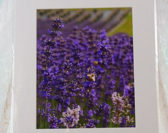 Bee on Lavender photo, matted