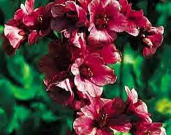Bergenia purpurascens .. 25 seeds