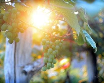 Natural, organic grape arbor at sunset