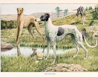 Greyhounds Colored illustration by Louis Agassiz Fuertes from a Vintage 1927 Book Page