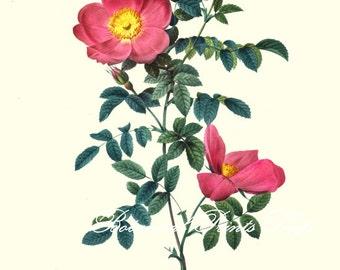 "Rose Prints No.1. Botanical Prints. Roses. Antique Rose Prints. 5x7"", 8x10""  11x14"""