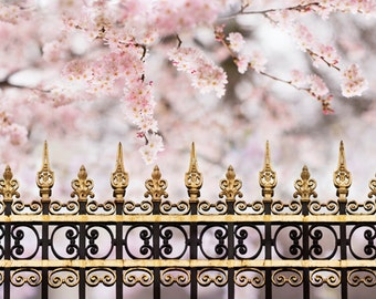 Cherry Blossoms in Paris -  Spring Paris Photograph, French Home Decor, Large Wall Art,