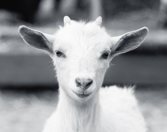 Baby Goat Photo - 8x10 Color or Black and White Farm Animal Photography Print