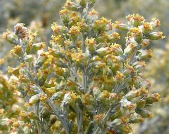 Big Sagebrush Seeds (Artemisia tridentata) 200+Seeds