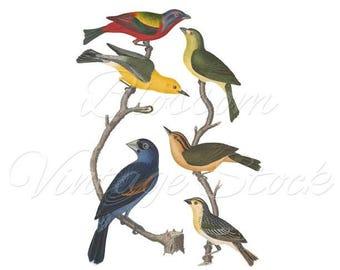 Birds Print, Wall Art, Vintage Bord Illustration, Clip Art, Digital Image Illustration for print, digital artwork  INSTANT DOWNLOAD - 2217
