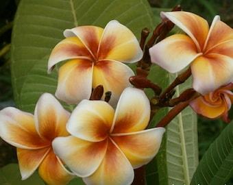 Gammam Plumeria, Rooted plant, Frangipani, Yellow Plumeria, Tropical plant, Tropical flower