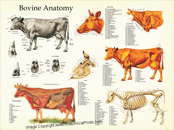 Cow Anatomy Poster Wall Chart 18 X 24