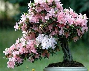 10 Pcs White-Pink Azalea Seeds Perennial Flower Seeds For Garden in Bonsai