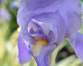 Blue Iris, Blue Iris Canvas Print, Blue Iris Photograph #60