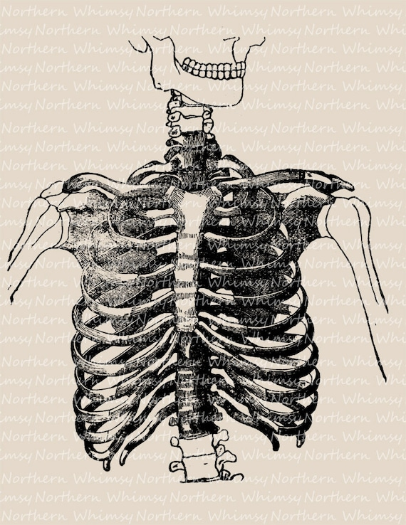 Ribcage Clip Art Image – Vintage Medical Illustration – Anatomy ...