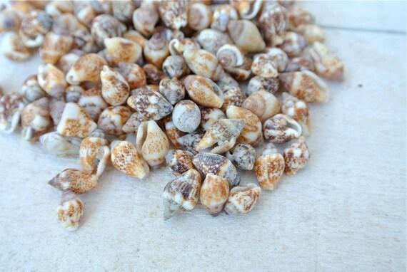Dove shells 100pcs tiny sea shells sea shells craft for Tiny shells for crafts