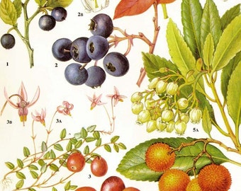 Fresh Berries Blueberry Bilberry Cranberry Arbutus Fruit Food Chart Vegetable Botanical Lithograph Illustration For Your Vintage Kitchen 83