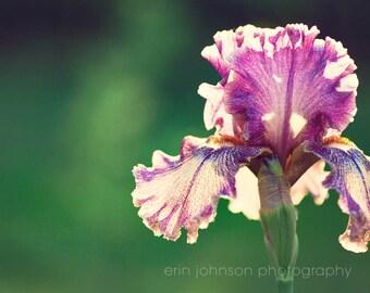 purple flower photography, nature photography, purple home decor, green wall art, floral art, Purple and White Iris III