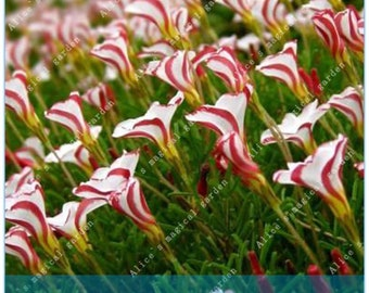 2 Bulbs True Oxalis Flower Bulbs Rare Oxalis Versicolor Candy Cane Sorrel Flower (Not Seeds) -Variety 2