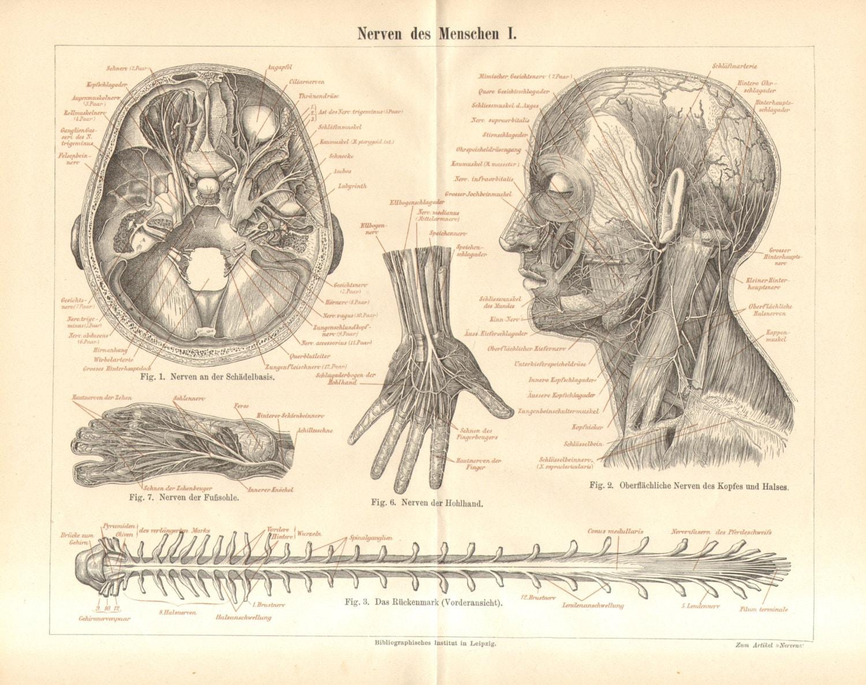 1890 Anatomie Nervensystem des menschlichen Körpers Nerven