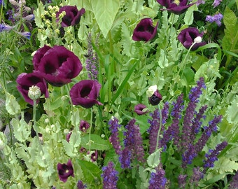 Heirloom Poppy and Salvia Flower Seed Mix, Magenta Poppy Seeds, Blue Salvia Seeds, Rare Flower Seeds, Wildflower Seed Mix