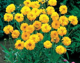 Early Sunrise COREOPSIS 50 seeds